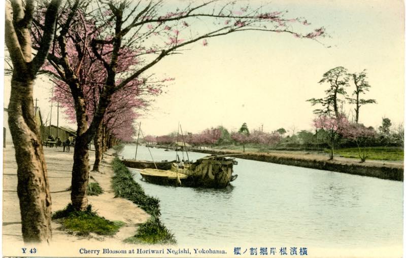 light根岸堀割の桜